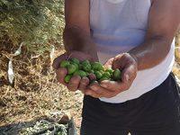 עיריית רחובות מזמינה את תושבי העיר: בואו למסוק את עצי הזית