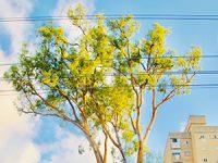 האקליפטוס חולה: כך משקמים את העץ הראשון בעיר